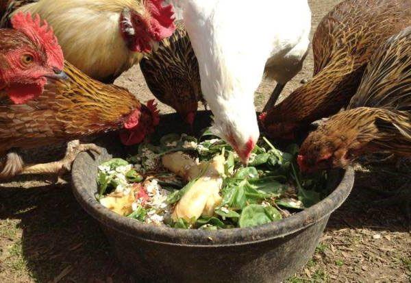 Зеленые корма так же необходимы курам, как зерновые