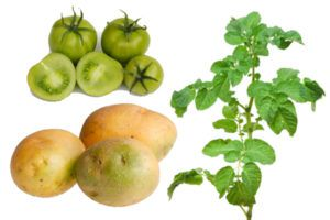 Зеленый картофель, его ботва и зеленый помидор