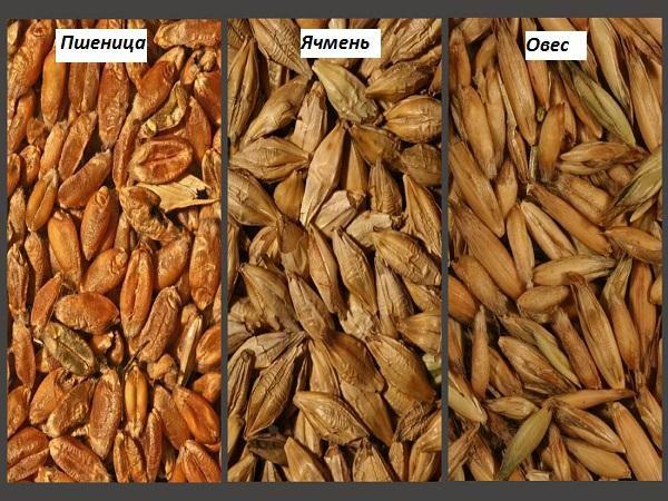 Зерновые культуры используются для мешанок