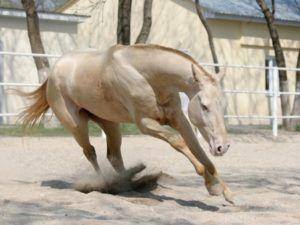 Ахалтекинская порода лошадей изабелловой масти