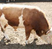 Как забивать животных на мясо