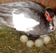 Как посадить утку на яйца