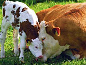 Кампания, развернутая против коровьего молока, может повлечь снижение поголовья, которое уже значительно сократилось в 1990 годы