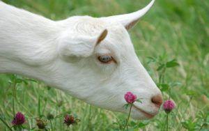 Коза после окота дает мало молока: что делать?
