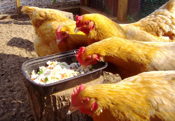 Комбинированный корм для кур