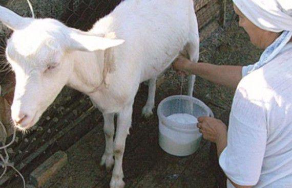 Комфортные условия для козы при дойке - залог хорошей продуктивности