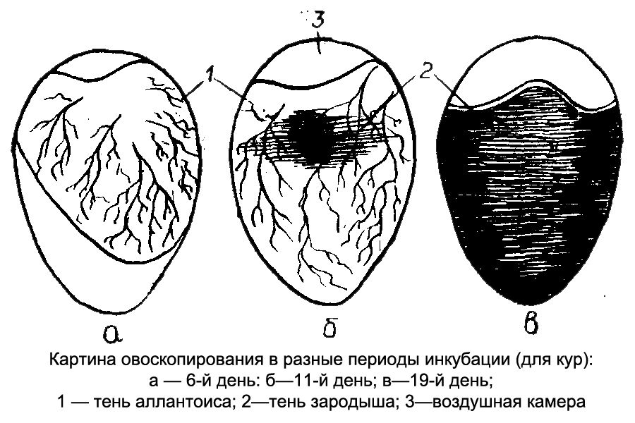 Контроль развития эмбрионов с помощью овоскопа