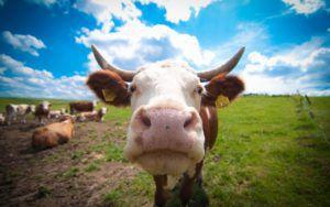 Коровы - основной {amp}quot;потребитель{amp}quot; Ивермека