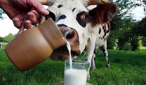 Коровье молоко лучше не давать поросятам