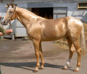 Кремовая лошадь ахалтекинской породы