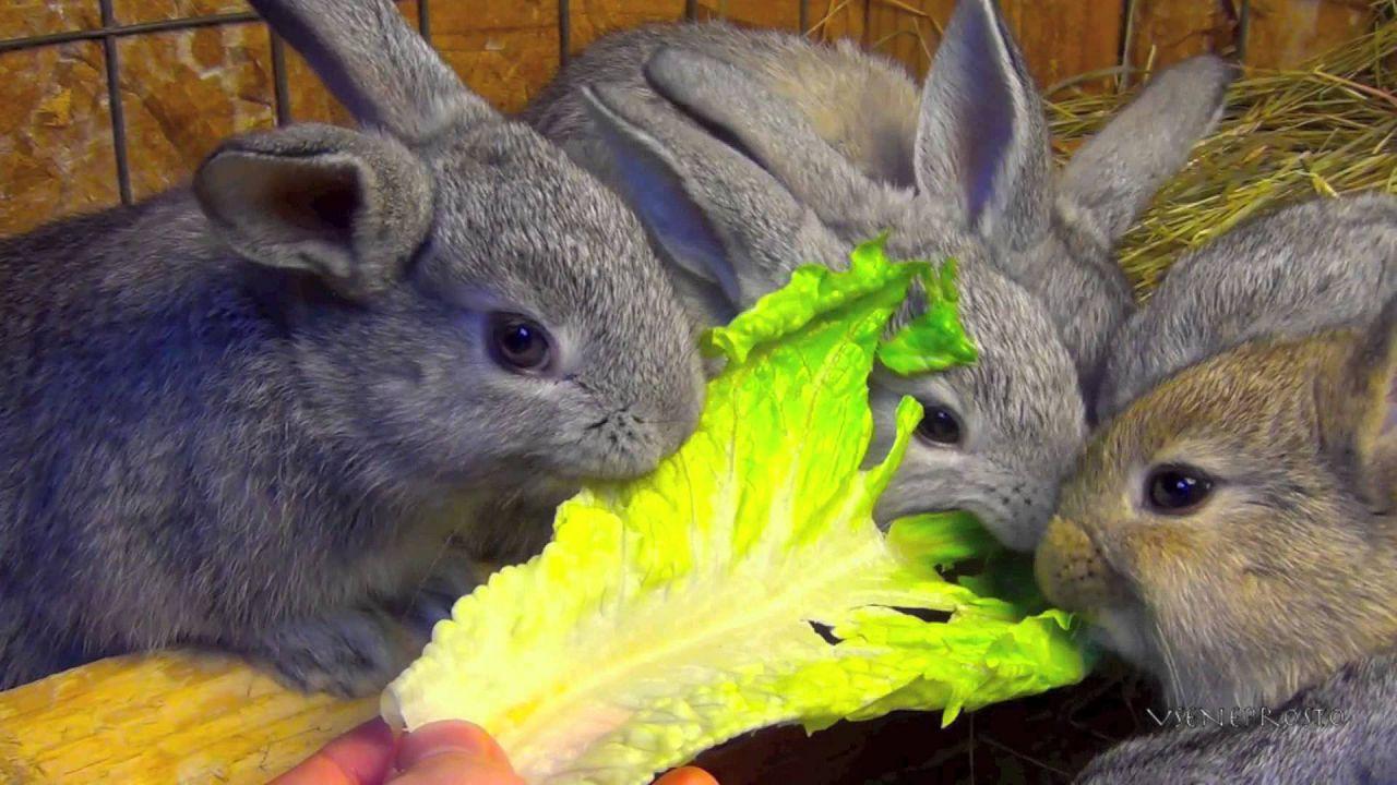 Кролики едят капусту