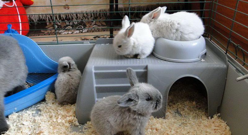 Кролики приучаются к лотку, беря пример с собратьев