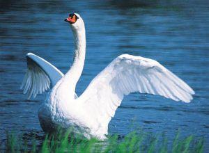 Крылья у шипуна упругие и сильные, нередко они служат средством обороны