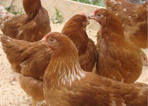 Курицы в частном хозяйстве