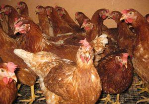 Курицы-несушки Ломан браун