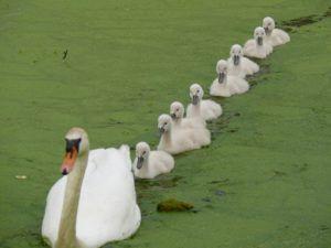Лебеди широко применяют в практику азы организованности