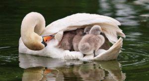 Лебедята, умеют плавать с первых дней жизни, но им часто хочется прильнуть к матери