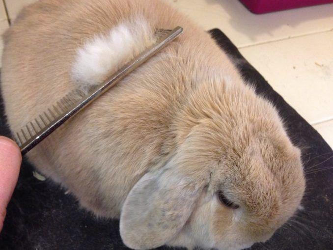 Линька кролика