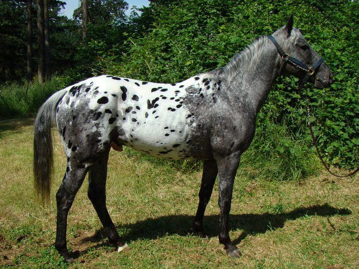 Лошадь Аппалуза