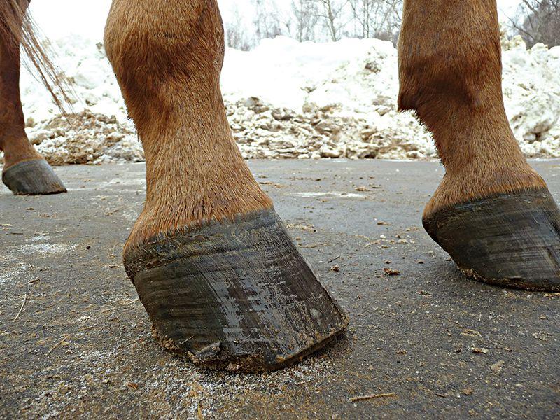 Лошадь без подков