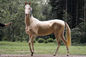 Лошадь классической кремовой масти