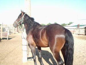 Лошадь породы Джабе