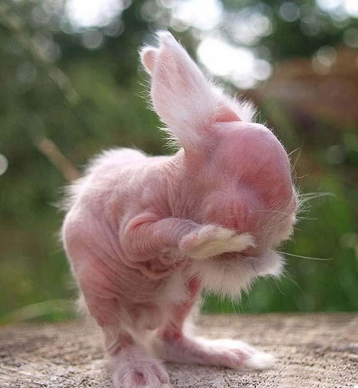 Лысого от рождения кролика нельзя вылечить