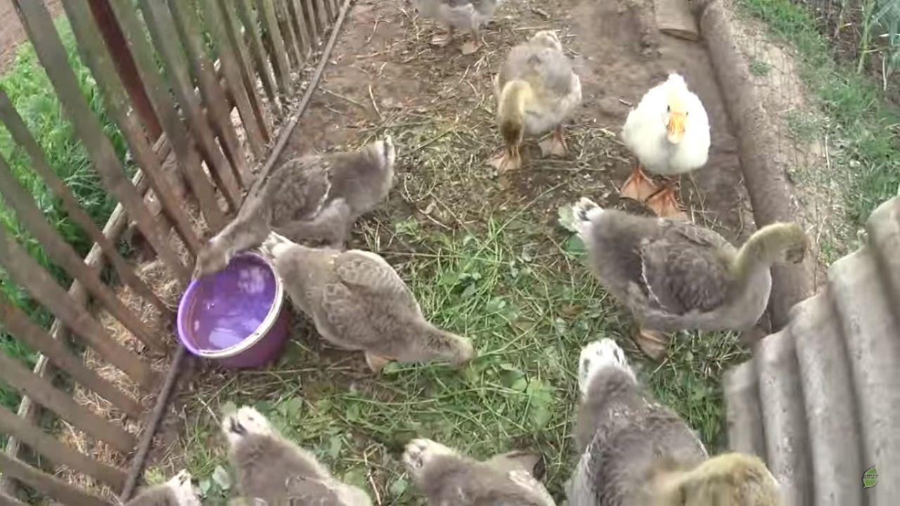 Месячные гуси