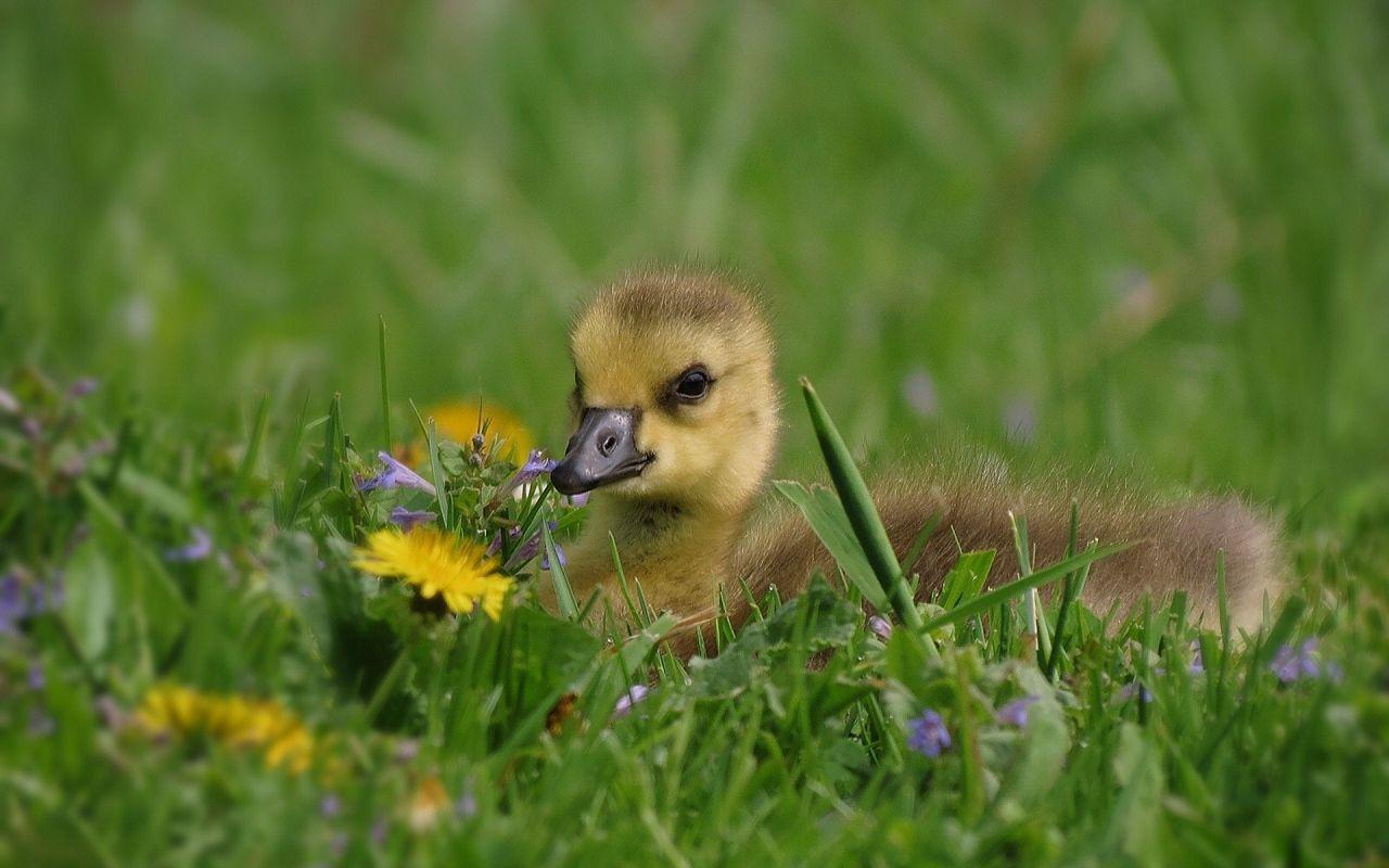 Молодые гуси не могут отличить полезную траву от ядовитой