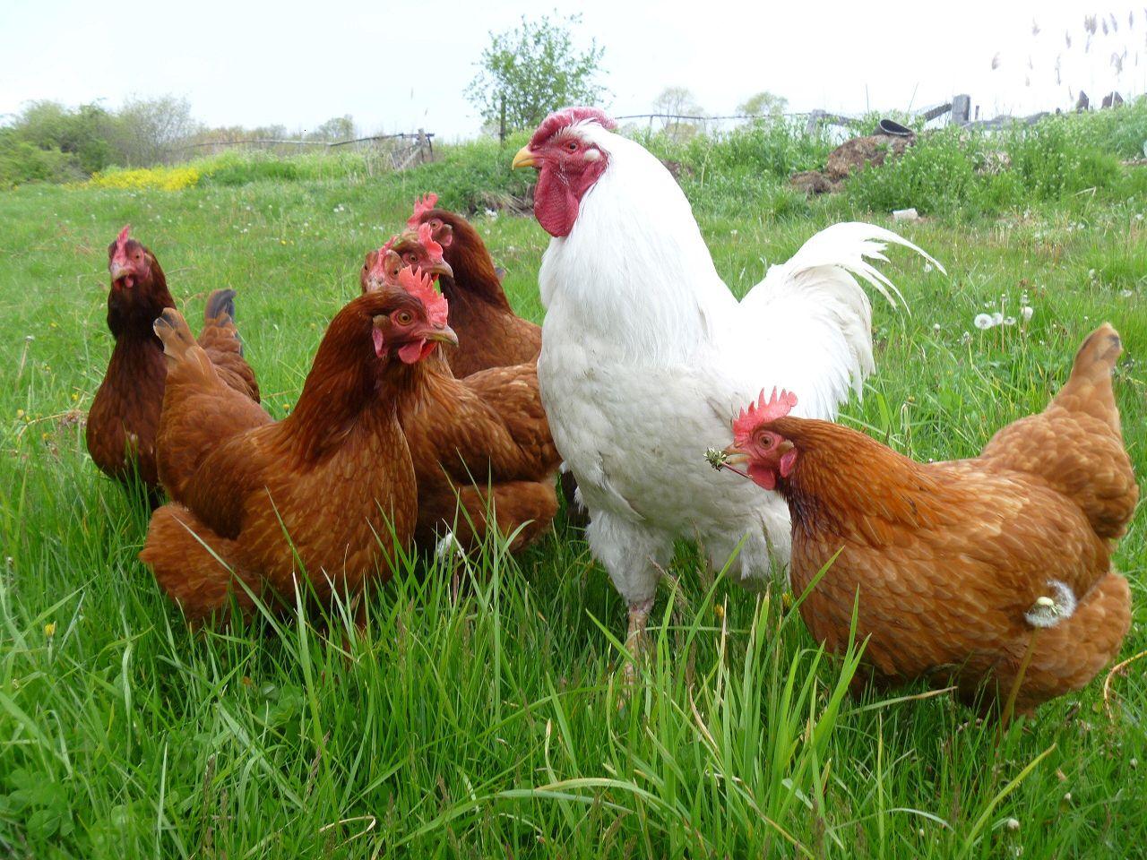 Редбро отличает спокойный характер, поэтому их можно содержать с другими птицами