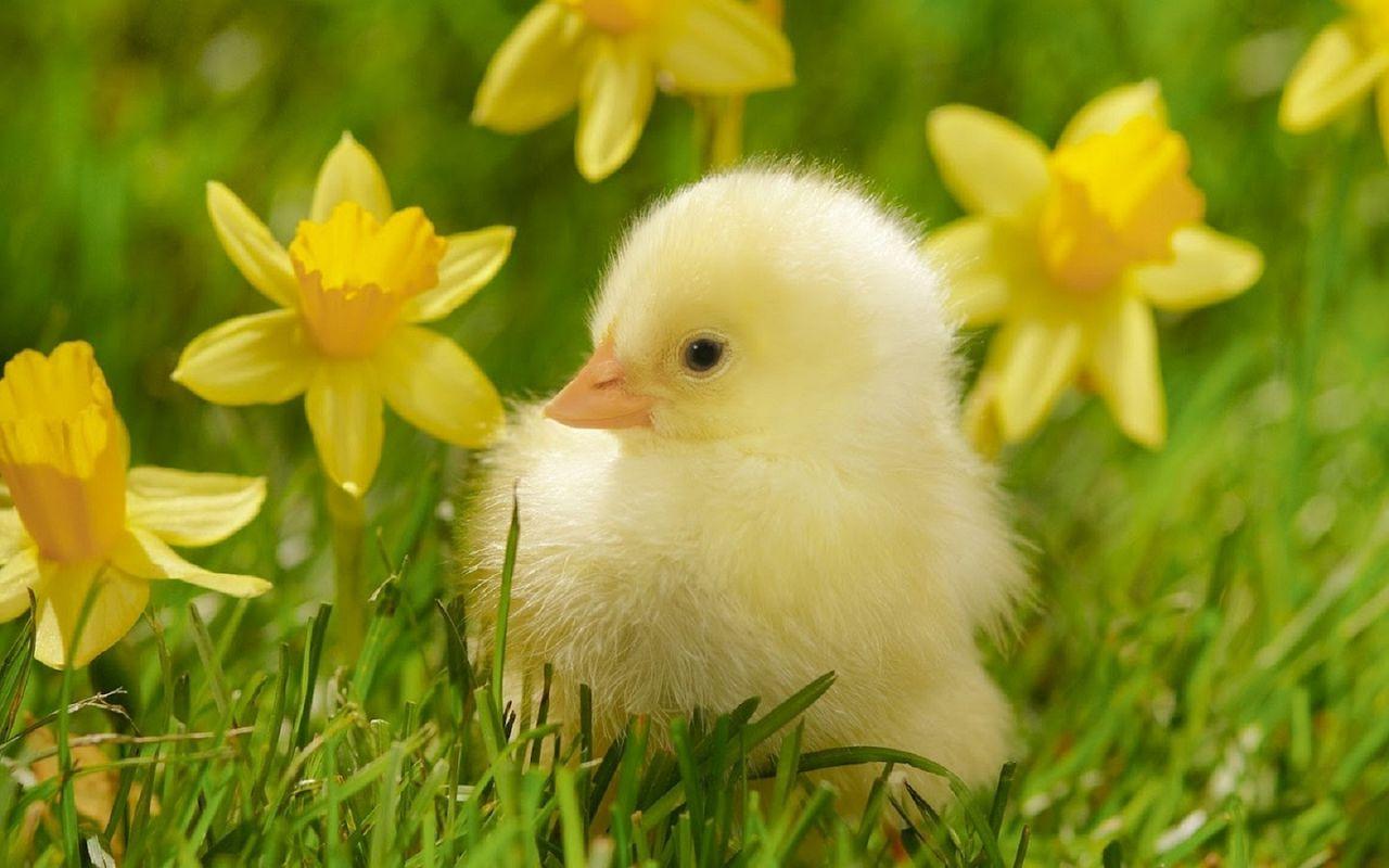 Новорожденный цыплёнок