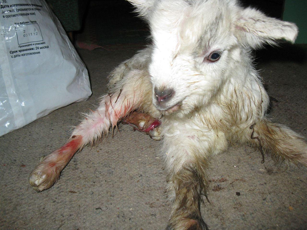 Новорождённый козлёнок