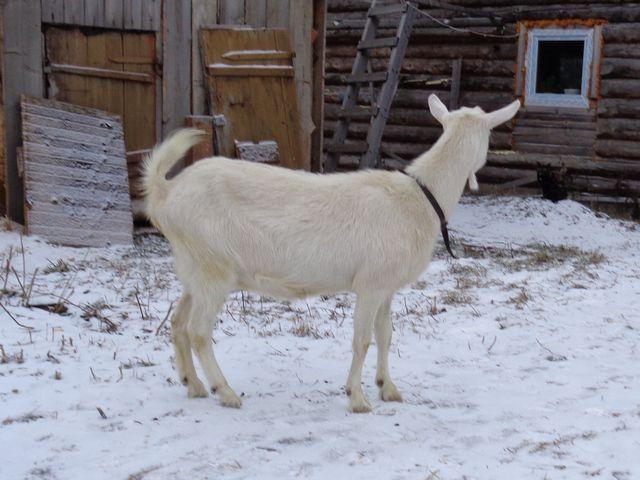 Определить котность козы можно по особым признакам