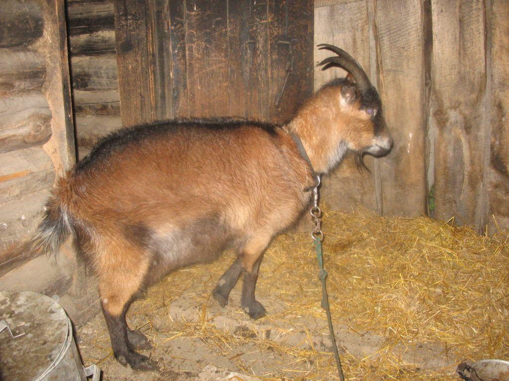 Определить котность козы поможет пальпация