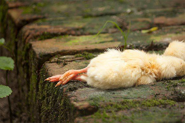 От одной курицы может заразиться всё стадо