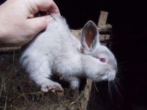 Приучите кроликов выходить из нор под звук свистка