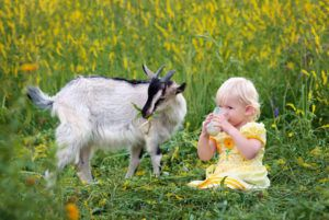 Парное козье молоко сохраняет свои бактерицидные качества в холодильнике в течение 2-х недель при выдерживании правил дойки