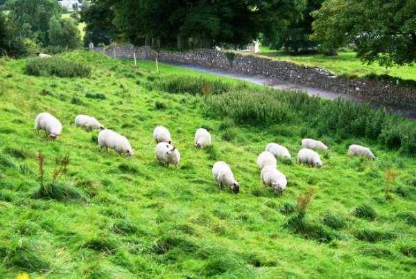 Пастбищное содержание овец