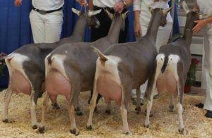 Племенные козы Тоггенбургской породы перед дойкой