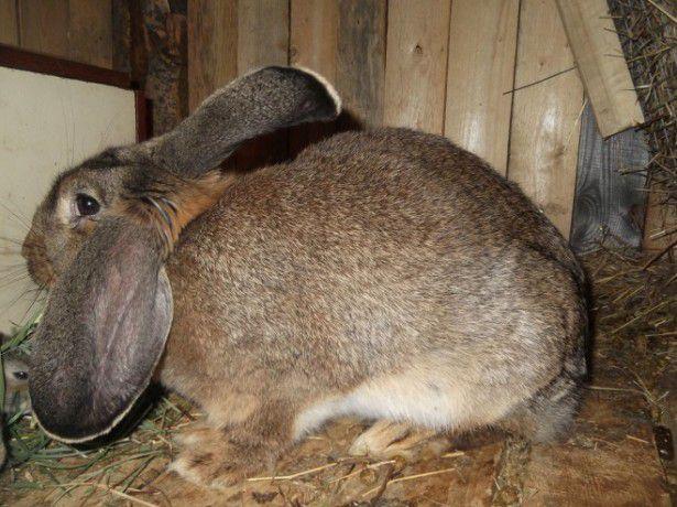 Половозрелая крольчиха