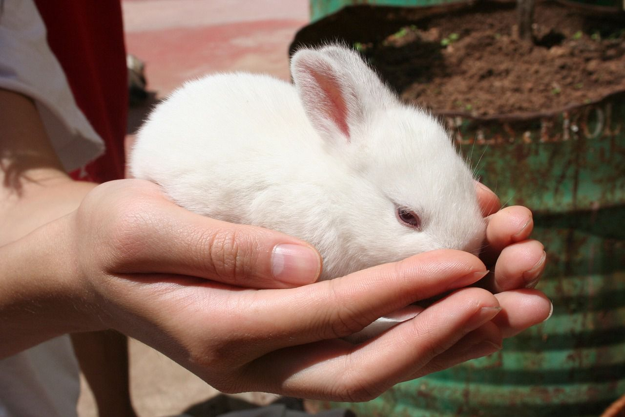 После того, как кролик начнёт позволять себя гладить, его уже можно будет взять на руки