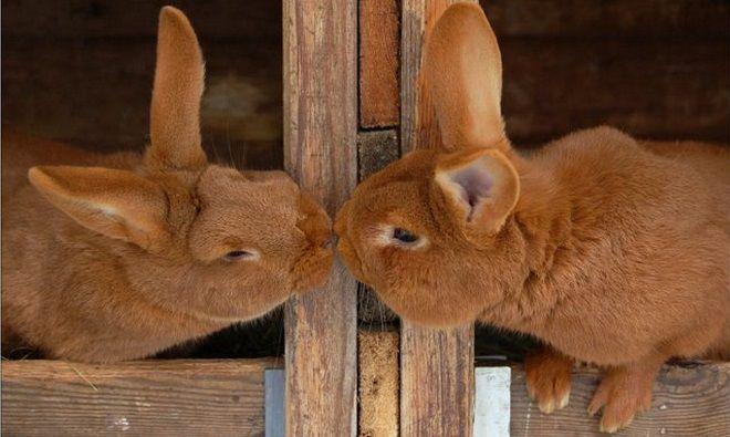 Почему крольчиха не подпускает крола