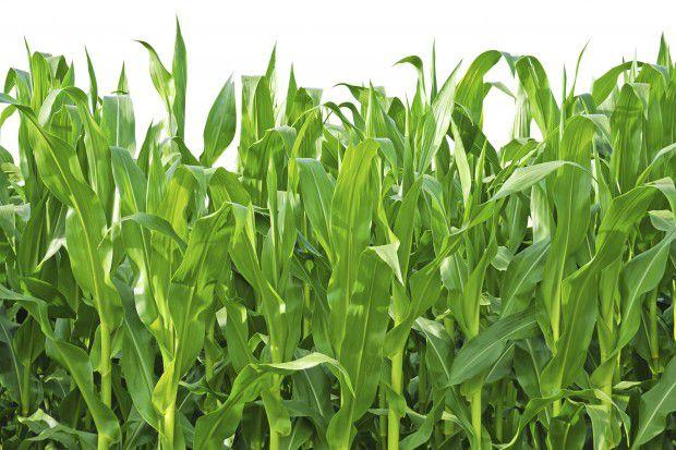 По питательной ценности свекловичный жом сравним со стеблями кукурузы