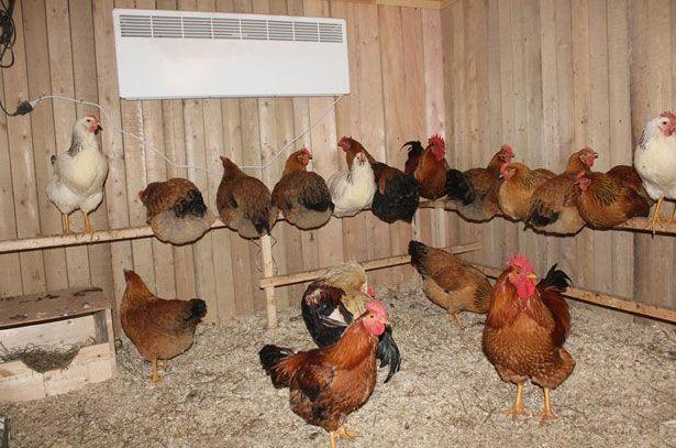 Правильное содержание кур отвадит от птиц большинство болезней