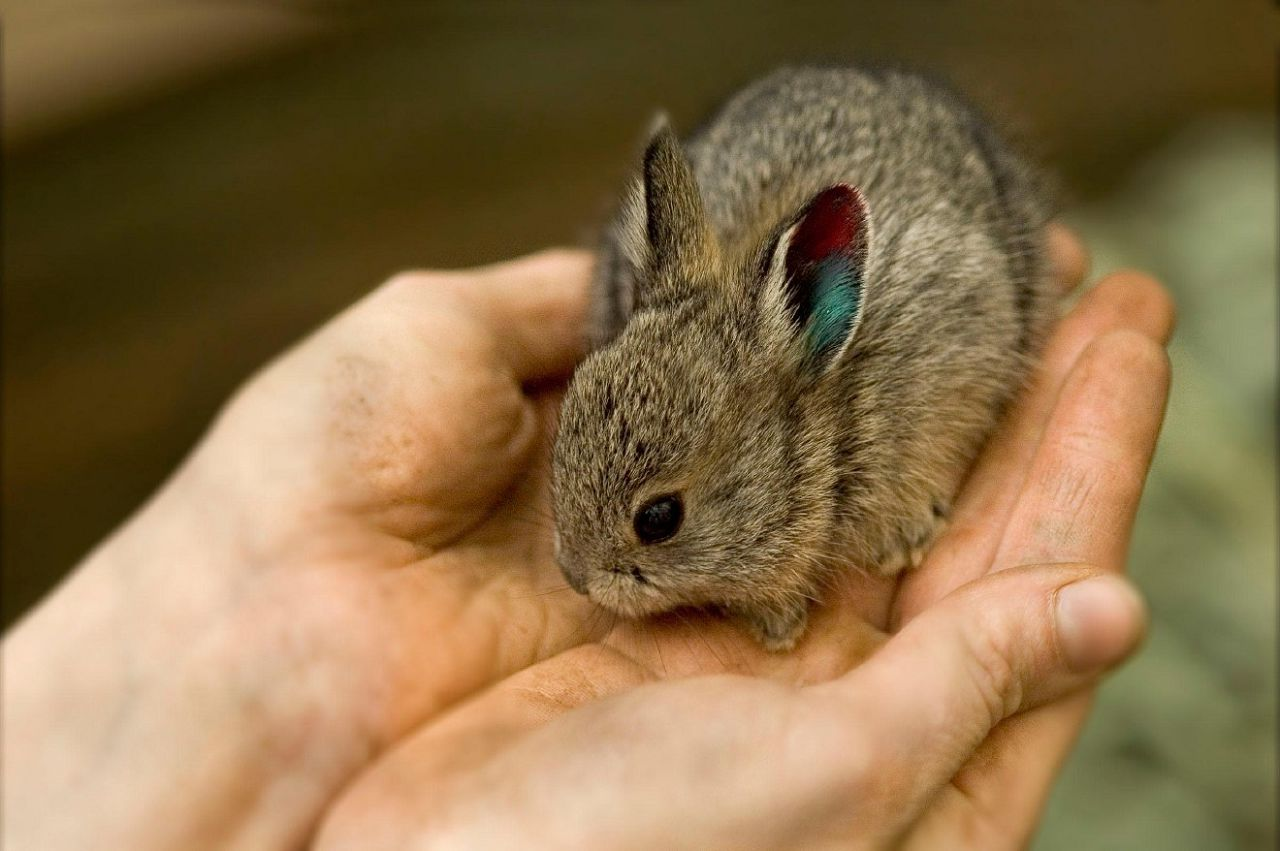 Приучать кролика к рукам нужно сразу после покупки