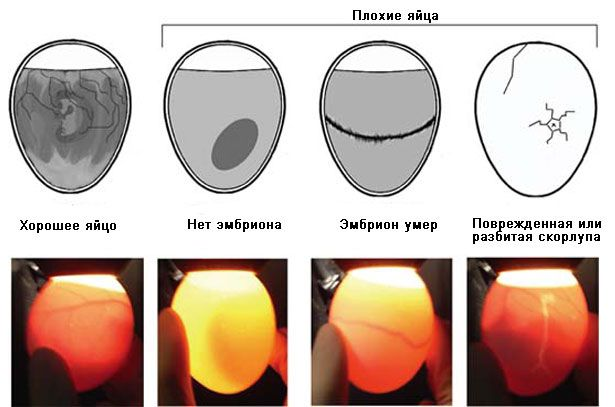 Проверка яиц инкубатора