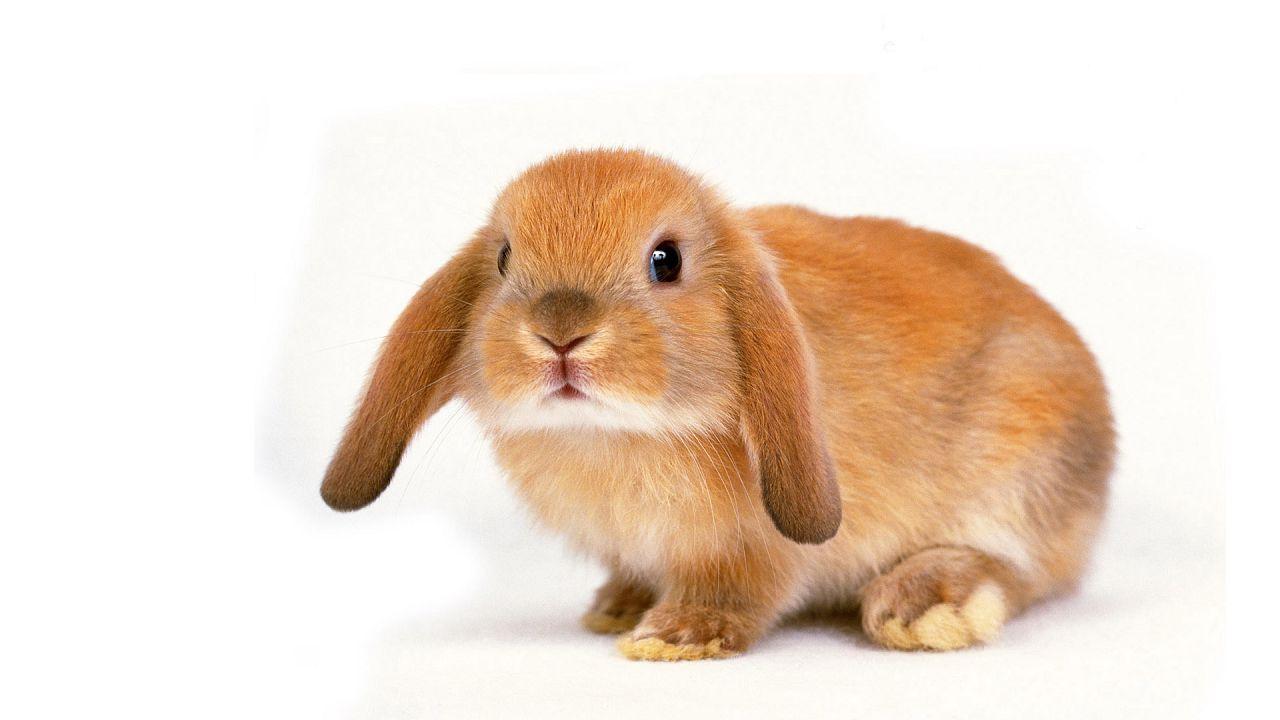 Процесс приручения кролика может занять от нескольких дней до нескольких месяцев