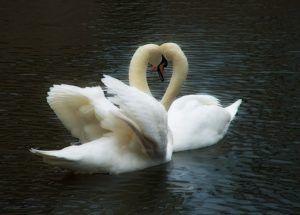 Птицы в парах очень привязаны друг к другу, они всегда вместе