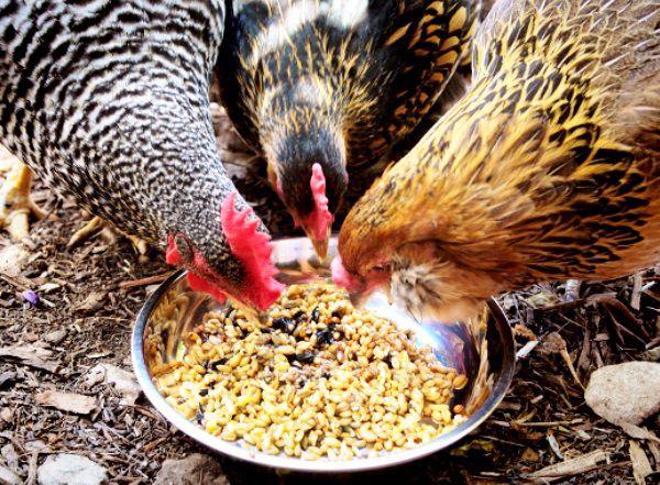 Основа питания — измельченное зерно