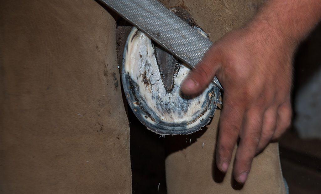 Рашпилем кузнец обтачивает и ровняет копыто в том месте, куда будет прибивать подкову, края копыта и особенно зацеп